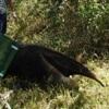 Animal sendo reintegrado à natureza